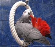 продам попугая выкормыш ЖАКО  029-7624265
