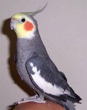 Продам попугая кореллу с клеткой