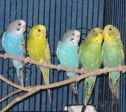 Попугай волнистый,  птенцы различных ярких окрасок