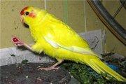 Ручной попугай какарик