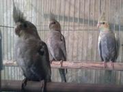 Птенцы кареллы (нимфы)