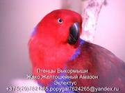 продам попугая ЖАКО, АМАЗОН, ЭКЛЕКТУС, все птицы рождены в Беларусии,