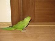 Попугай ожереловый птенец