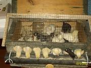 продам цыплят кур-несушек разных возрастов