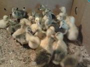 Продаю гусят 80 000 бел.руб.,  также домашних цыплят от 15 000 бел. руб. за суточных! Имеются разных возрастов