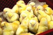 Продажа инкубационного яйца и суточных цыплят кросса