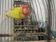 продам попугая не разлучника с клеткай