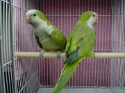 Продам птенцов попугаев калита монах, выкормыши