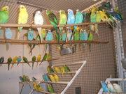 Продам птенцов волнистых попугаев.