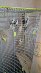 Продам птенцов карелл